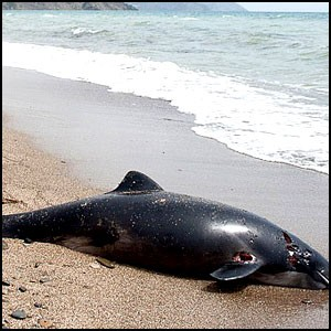 В Крыму массово гибнут дельфины!
