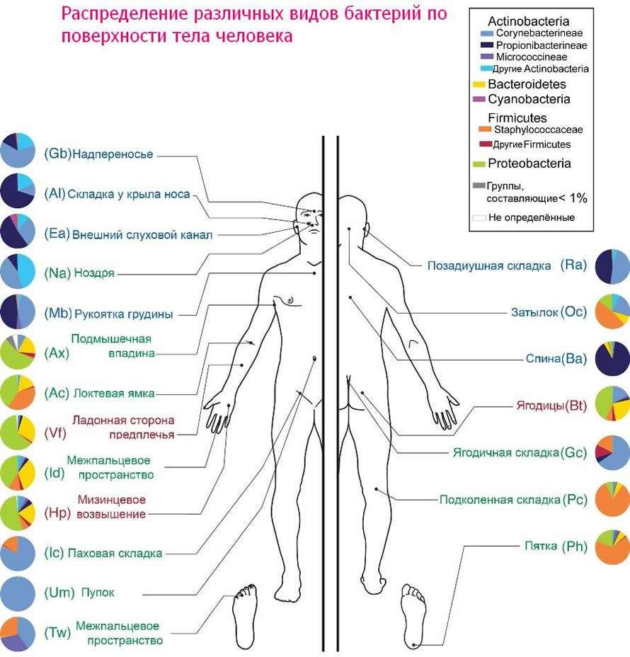 бактерии на теле человека. Кем мы населены