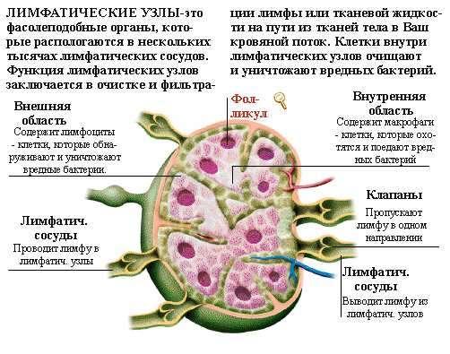 Лимфатическая система – это самое главное для здоровья человека
