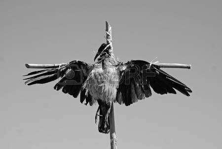 10335761-Мертвая-ворона.jpg