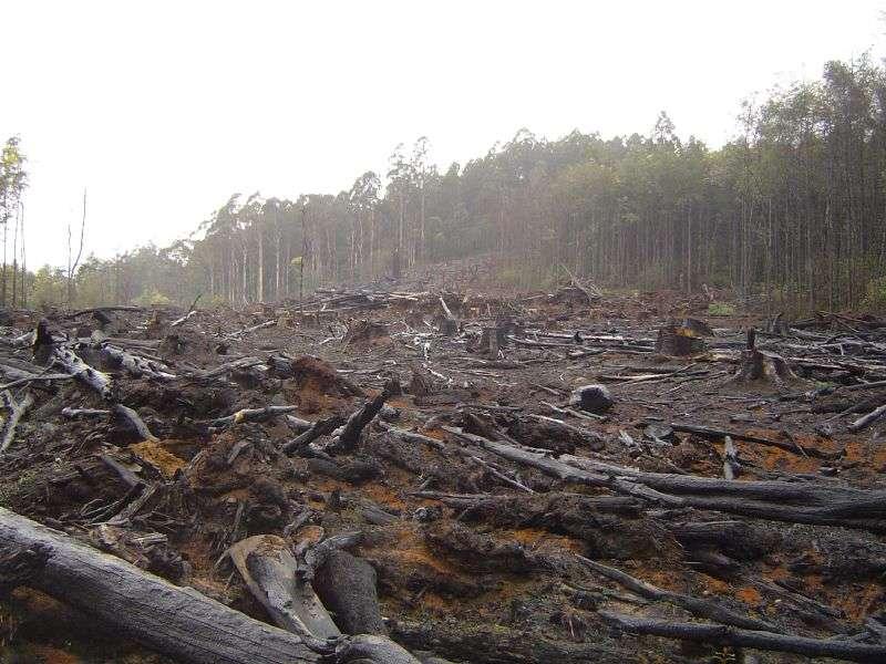Русский лес безжалостно вырубают ради экспорта в Китай