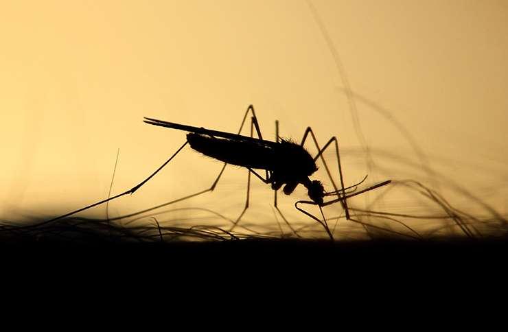 В Бразилии эксперимент с ГМО комарами-мутантами вышел из-под контроля учёных