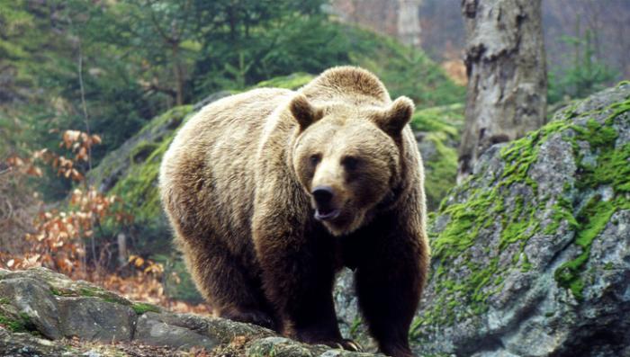 Машинист уверяет, что не хотел давить медведя - у него просто не работал гудок