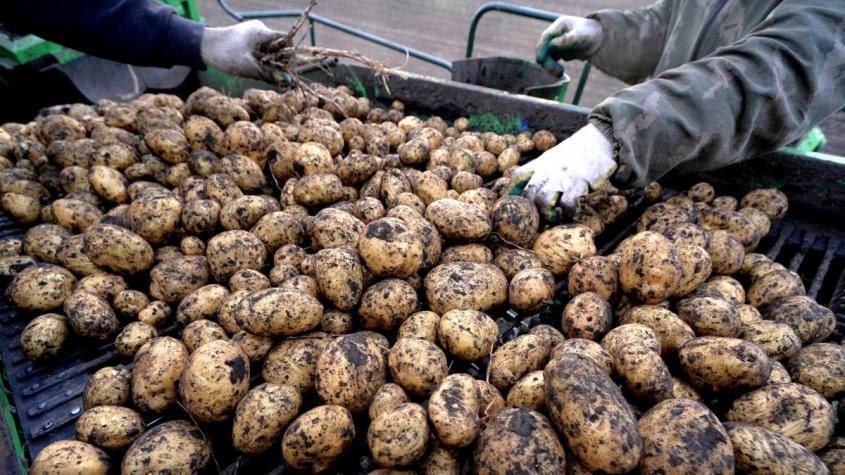 Уборка картофеля – РИА Новости, 1920, 04.01.2021