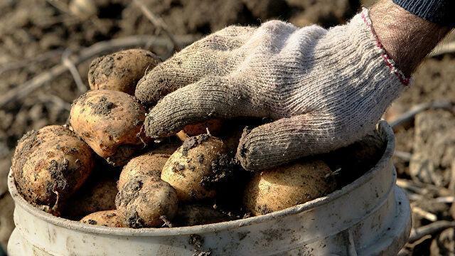 В аграрной незалежной сверхдержаве снова закончился картофель