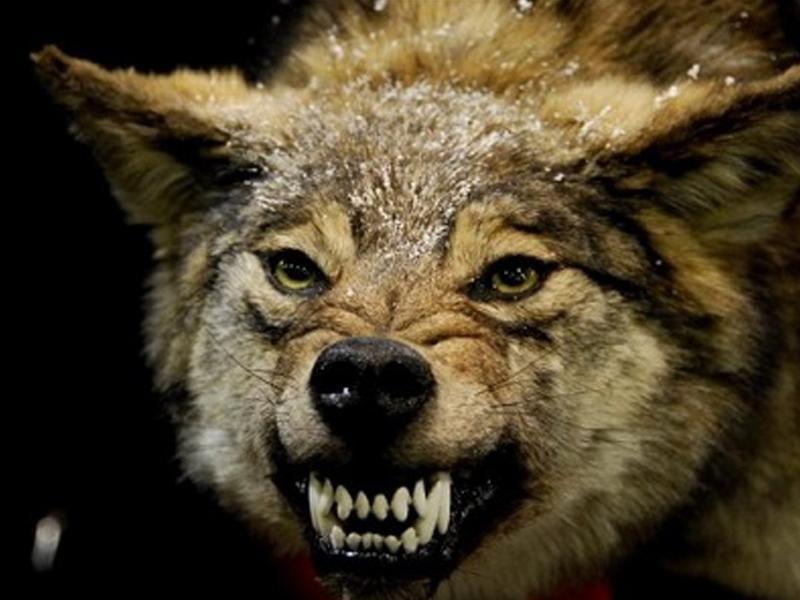 Русский голыми руками задушил волка при нападении. Видеофакт
