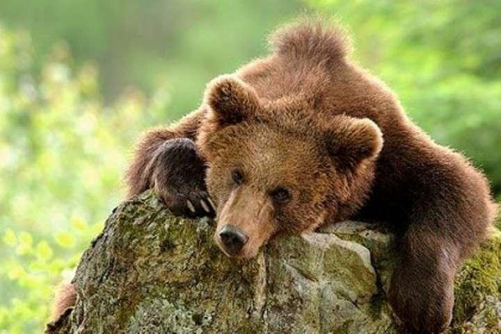 Медведь, ни шагу назад