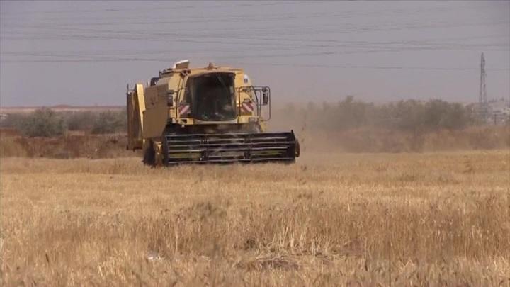 Американские военные воруют пшеницу на полях Сирии
