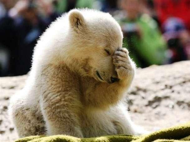 Интересные факты из жизни полярных медведей