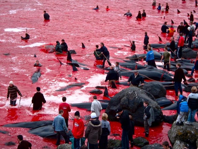 «Цивилизованные» европейцы за несколько часов вырезали 1428 дельфинов