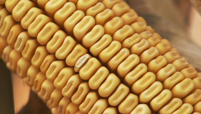 """""""Зерна и плевелы"""": генно-модифицированный след Запада на Майдане"""