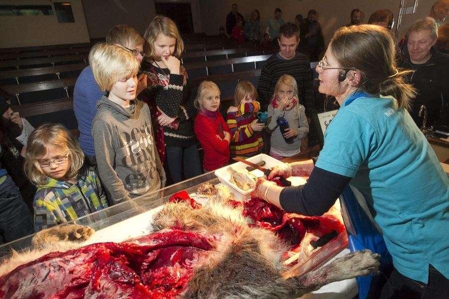 После убийства жирафа Мариуса в Дании на глазах у детей расчленили волка