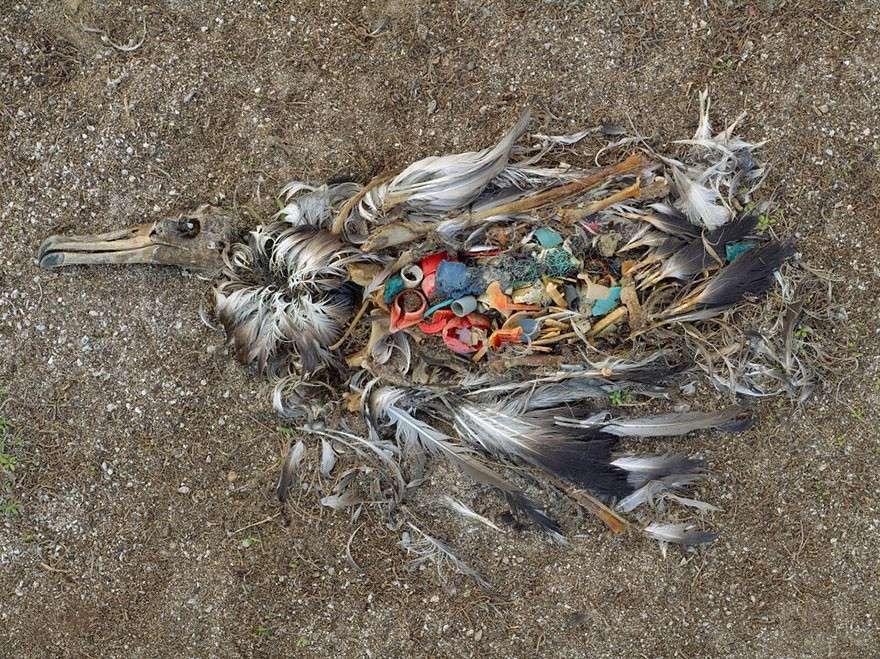 Мертвая птица, острова Мидуэй мир, население, последствие, фотография