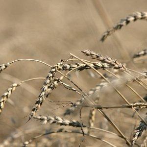 Власти: почти половина необходимого ЛНР урожая ранних зерновых собрана
