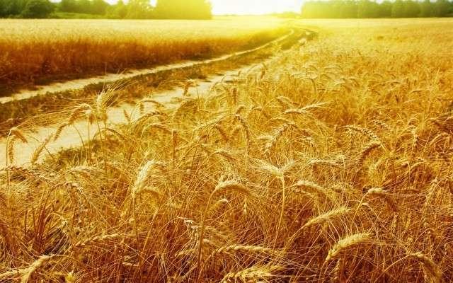 Минсельхоз: урожай зерна может превысить 101 млн. т