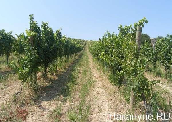 виноградники, Италия Фото: Накануне.RU