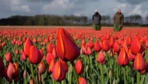 Россия ужесточает правила ввоза голландских цветов