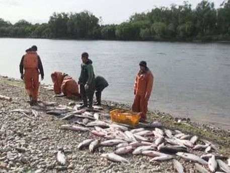 Красная рыба в России подешевеет, благодаря небывалому улову на Дальнем Востоке