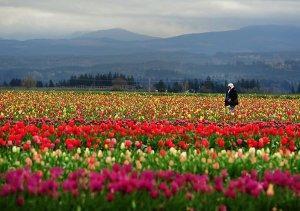 Амстердам старается увеличить объёмы реэкспорта ядовитых цветов на российский рынок
