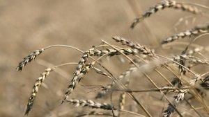 Российское зерно вытесняет американское