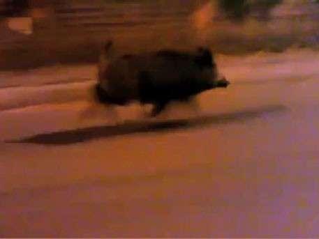 Кабан бежал наперегонки с автомобилем в Петербурге со скоростью 70 км/час