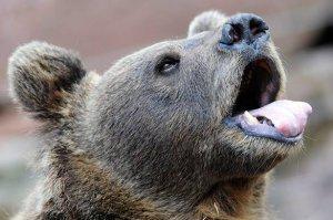 На Камчатке объевшийся медвежонок-воришка застрял в окне