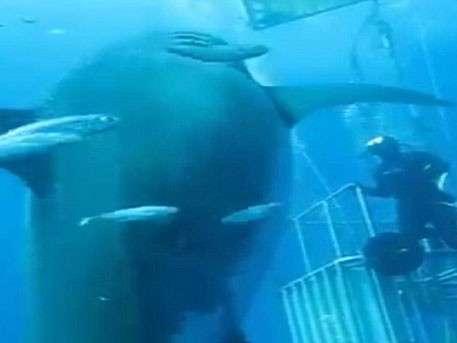 Самую большую в мире акулу впервые сняли на видео