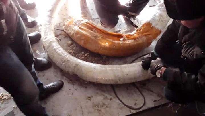 Контрабанде бивней мамонта из России поставлен заслон