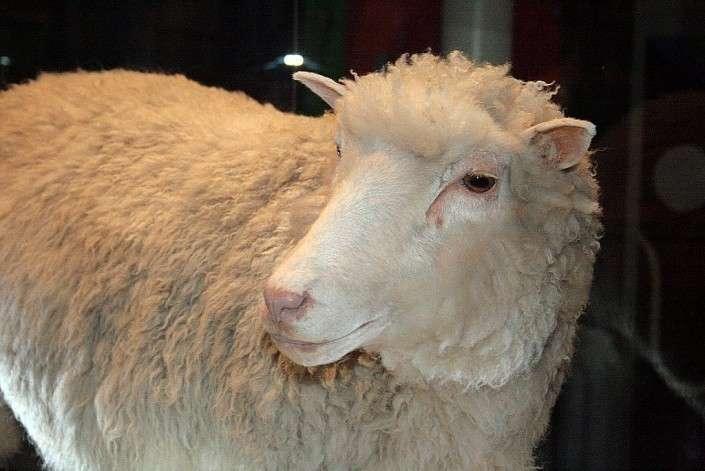 Мясо клонированных животных есть очень опасно