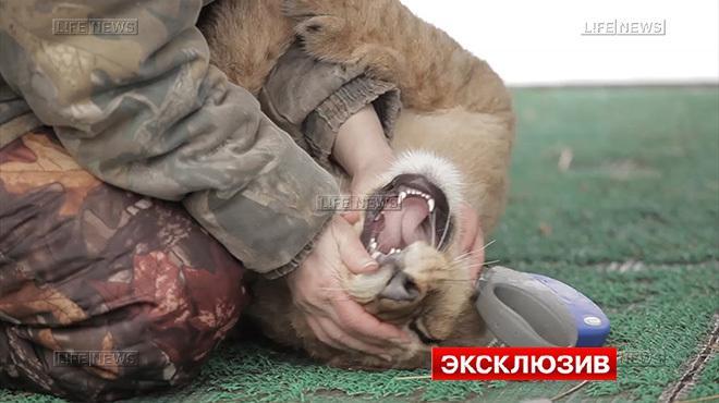Сотрудница зоопарка рассказала, почему львёнок напал на мальчика