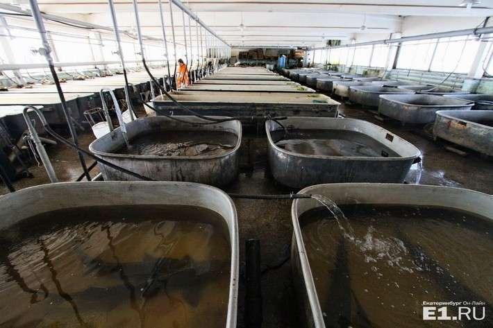 Рефтинское рыбное предприятие приступило к разведению белуги (фоторепортаж)