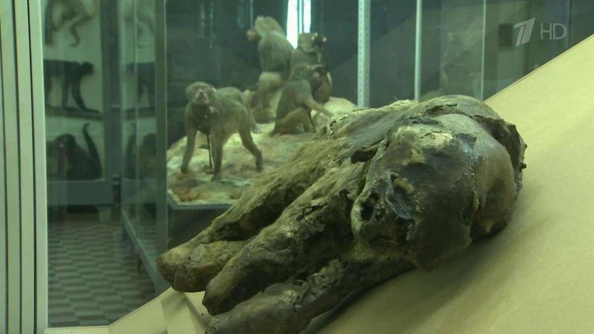 Российские ученые закончили полную расшифровку генома мамонта