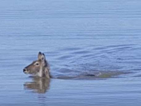 Антилопа изящно уплыла от кровожадного крокодила
