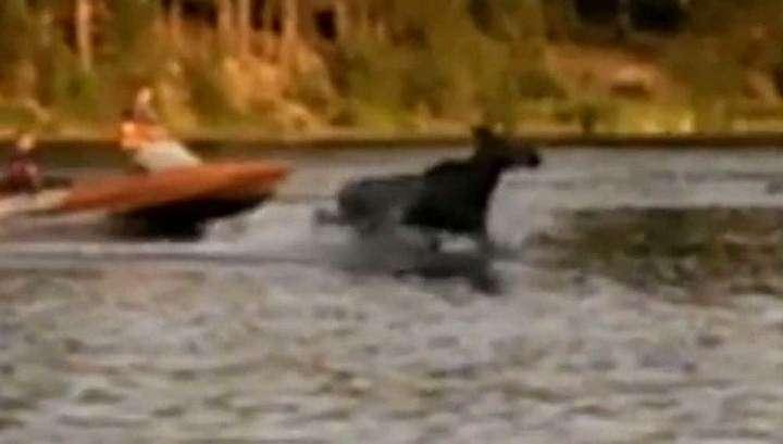 Упрямого лося весь день выгоняли из озера