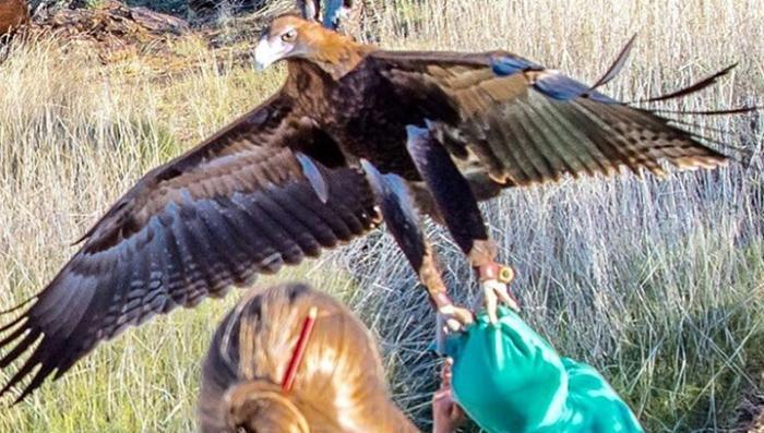 В Австралии гигантский орёл чуть не утащил шестилетнего ребёнка