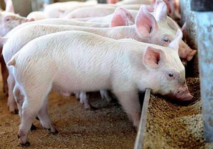 12. В Иркутской области ввели в эксплуатацию новую свиноферму история, политика, факты