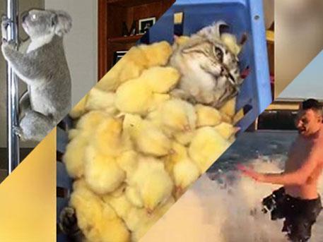 Кот зарылся в цыплятах, коала танцует «стриптиз» и Кличко плещется в Днепре: доброе видео недели