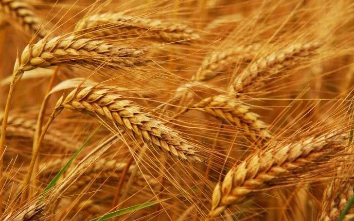 12. Минсельхоз России: собрано около 30 млн тонн пшеницы, что на 26% больше, чем в прошлом году  история, политика, факты