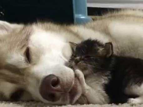 Кот, выросший с собакой, думает, что он – пёс