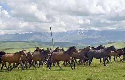Как карачаевскую породу лошадей удалось спасти от Хрущёва, от колхозов и от «лихих 90-х»