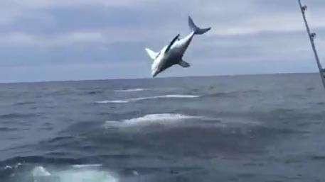Огромная акула исполнила в Калифорнии тройное сальто перед рыбаками