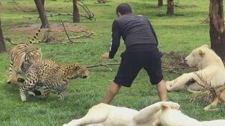 Тигр спас сотрудника заповедника от нападения леопарда