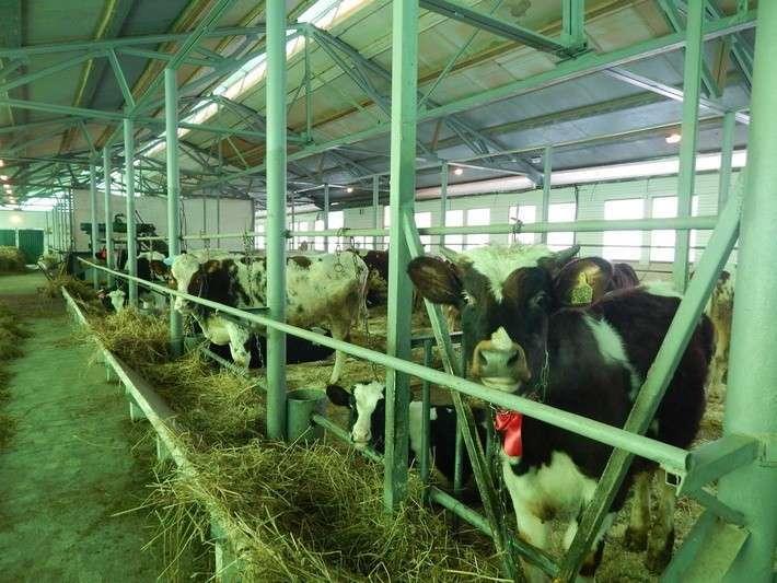 7. Подмосковное крестьянское хозяйство запустило молочную ферму Сделано у нас, политика, факты