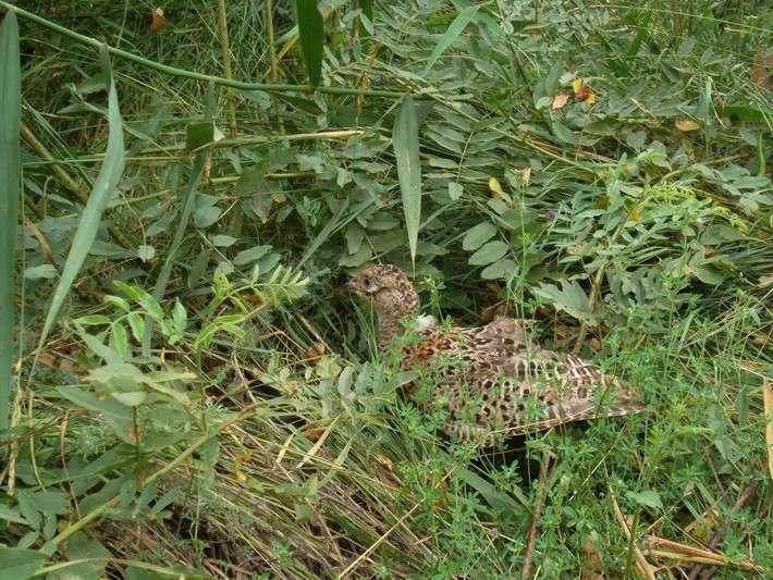17. В Астраханской области выпущены в естественную среду обитания 1200 уток и фазанов Сделано у нас, политика, факты
