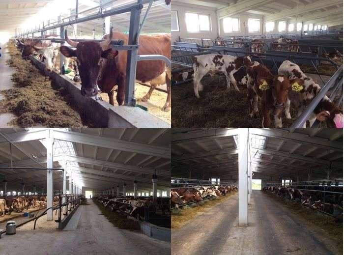 6. В Ленинградской области идет модернизация молочных ферм Сделано у нас, политика, факты