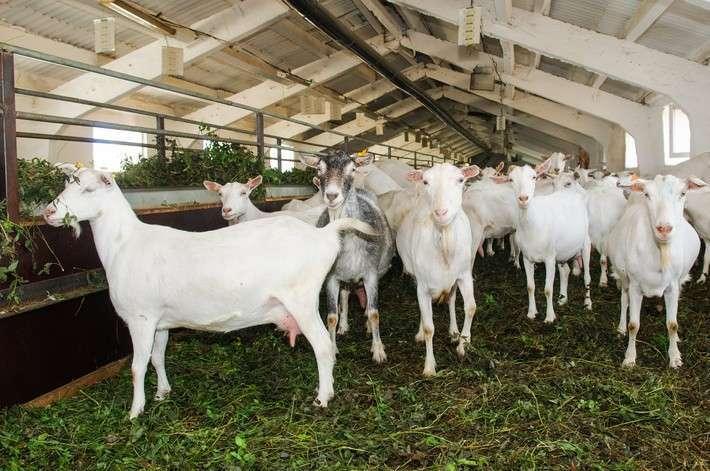 13. «Лукоз Саба» планирует стать крупнейшей в мире козьей фермой Сделано у нас, политика, факты