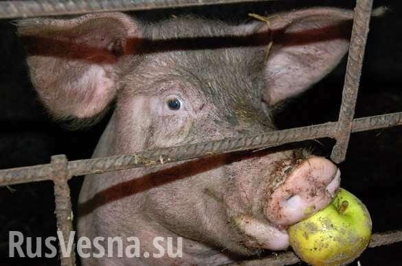 Свиномайдан: массовая драка из-за свиней на Полтавщине | Русская весна