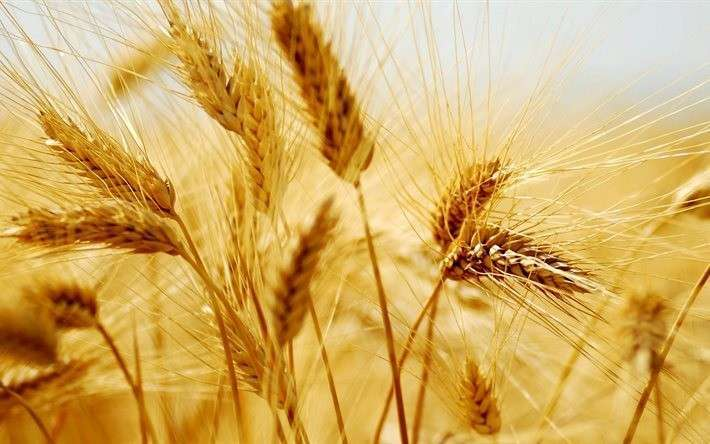 1. Россия стала крупнейшим экспортером пшеницы в мире Сделано у нас, политика, факты