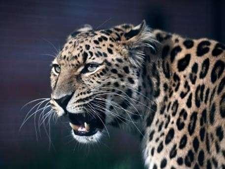 Владимир Путин рассказал о драке леопарда Килли с медведем в заповеднике