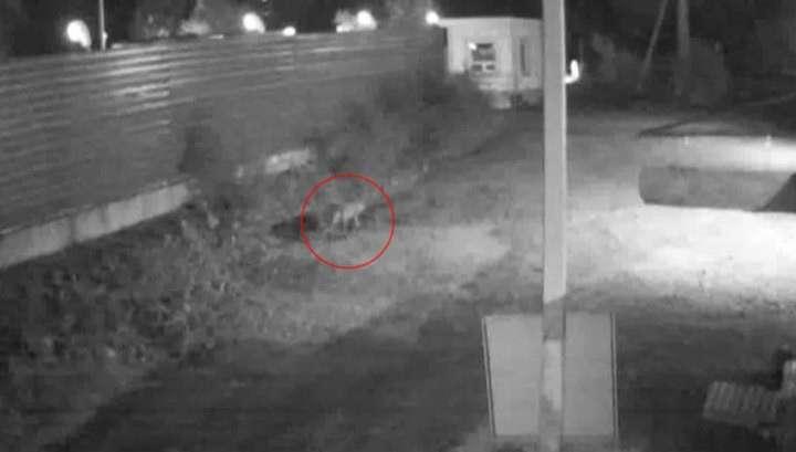 Тревога во Владивостоке: амурский тигр пришёл в каменные джунгли